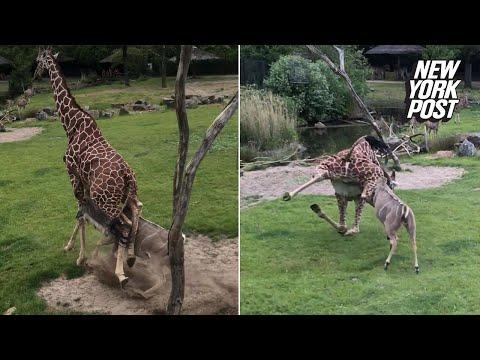 Antelope tackles giraffe in front of screaming kids   New York Post