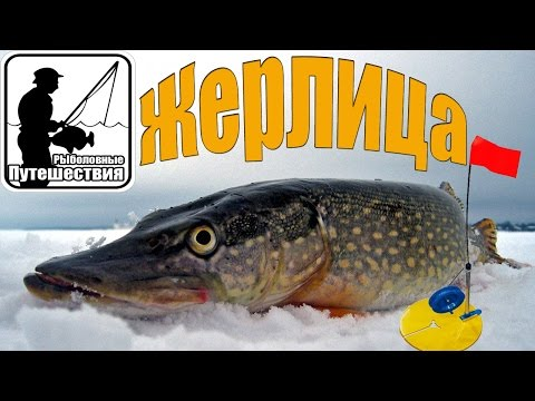 Cмотреть видео онлайн как правильно оснастить жерлицу для зимней рыбалки для ловли щуки