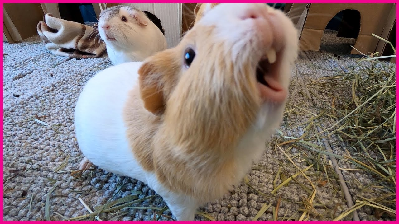 Happy guinea pigs wheeking and squeaking!
