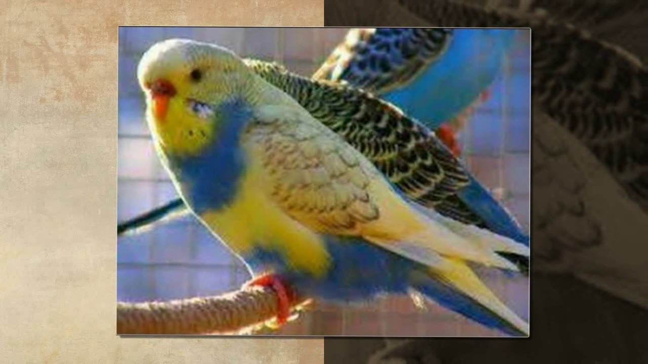 اجمل طيور الحب الهولندي الجزء 11 The Most Beautiful Dutch Love Birds عالم الحيوان Youtube