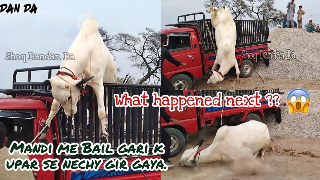 Jafar Mandi me Bail gari k upar se nechy gir gaya    What Happened Next?    MUST WATCH Video