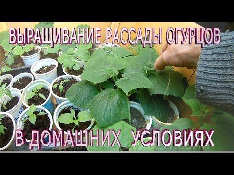 Огурцы.Выращивания рассады огурцов в домашних условиях.Поэтапное наблюдение за ростом рассады огурца