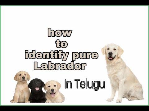 How to check pure Labrador breed   Telugu   Taju logics