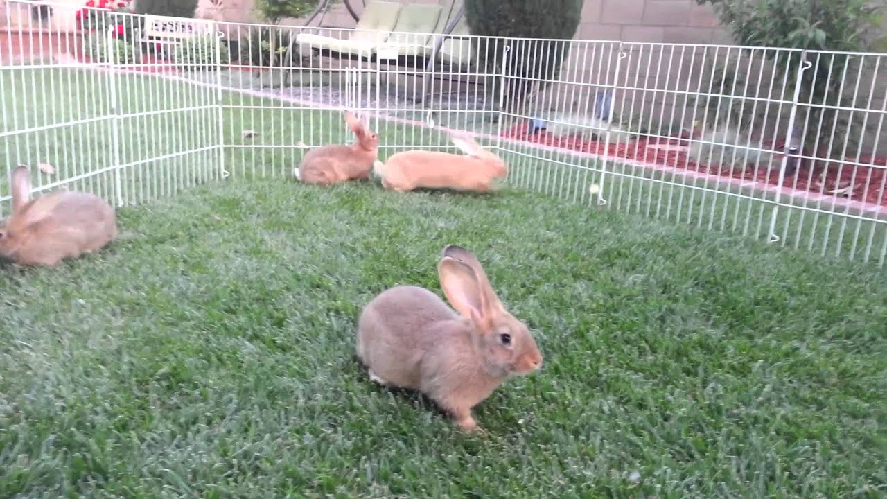 2 Month Old Baby Flemish Giant Doing Binkies! - YouTube