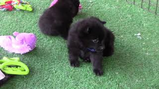 Schipperke puppies Gina, Gigi, Gloria and Bruce on the porch for the first time.