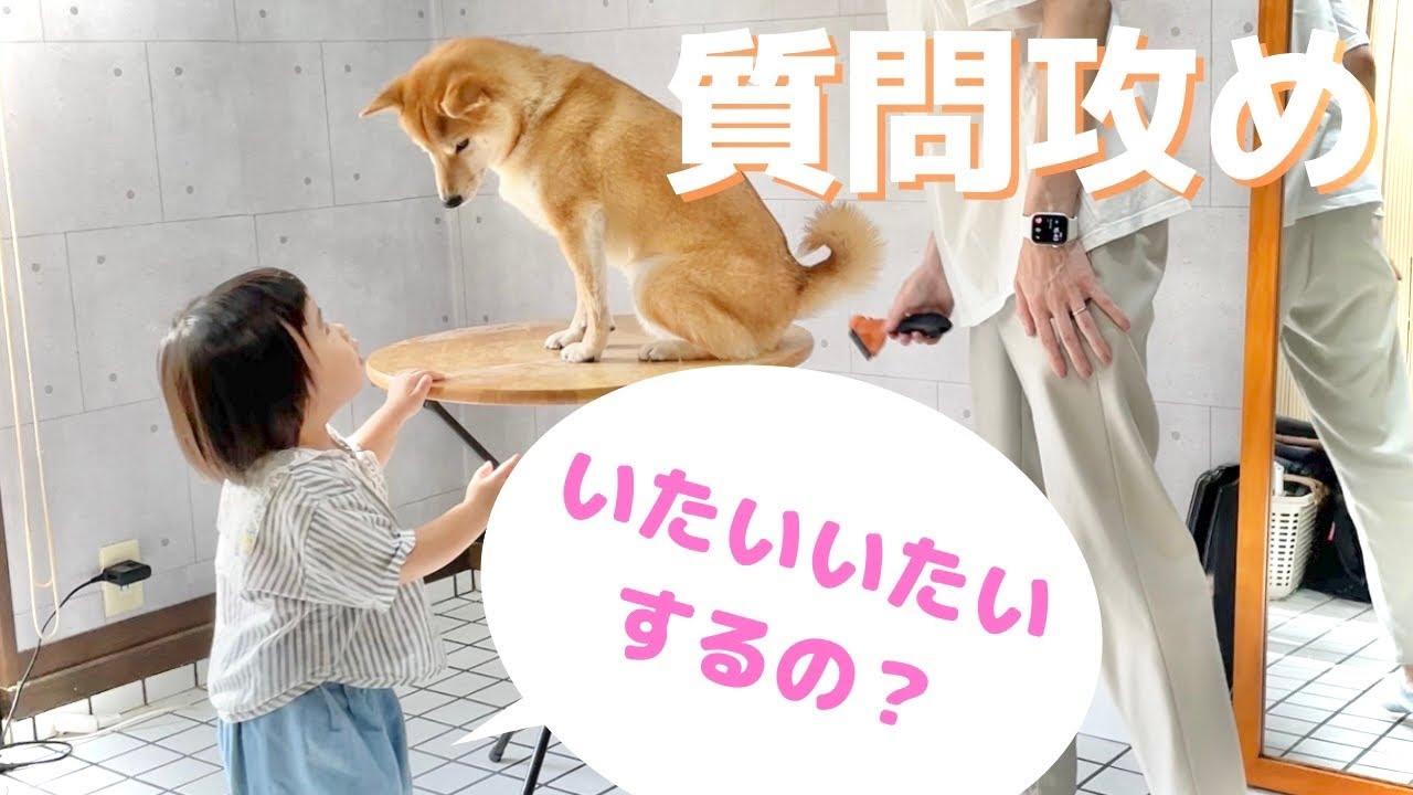 柴犬のお尻の毛を整えていたら娘からの質問攻めがすごい