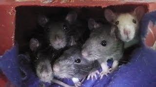 "Meet My Rats! ""hello!"""