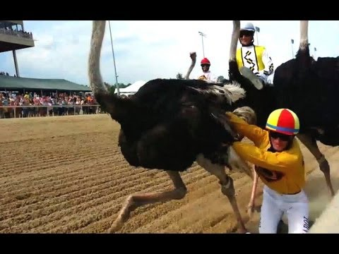ostrich racing jockey trampled youtube