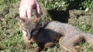Wild Fox makes a visit to our yard. Shelby County Alabama