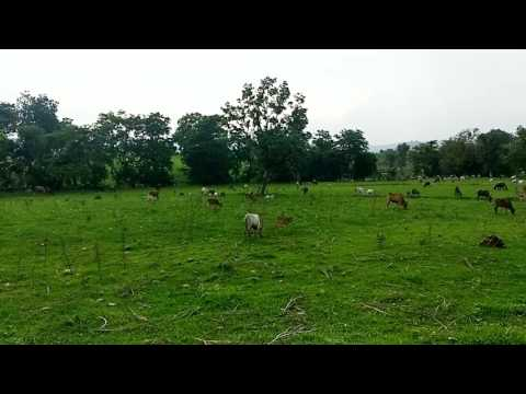 In India Cattle grazing:natural nature