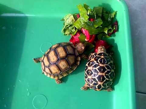 Pet Tortoise Food
