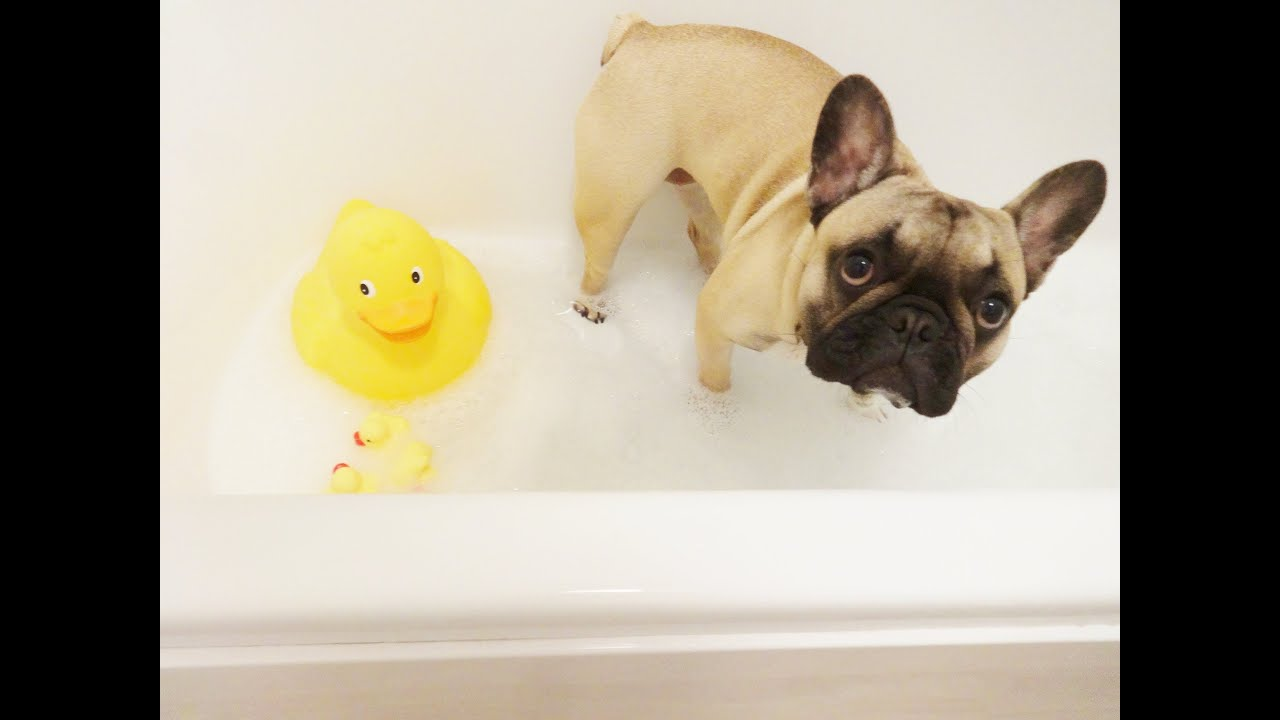 Resultado de imagen para frenchie bath