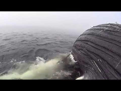 Noticias ao Minuto   Tubarão Branco abocanha carcaça de baleia gigante na Califórnia; veja!