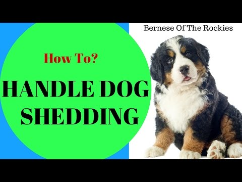How to Handle Dog Shedding?