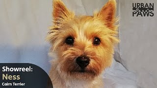 Dog Training: Ness (Cairn Terrier) Tidy Up Skill