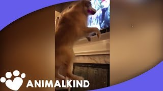 Golden retriever freaks out watching royal wedding