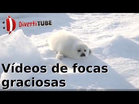 Vídeos de focas graciosas