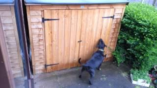 Staffordshire Bull Terrier Chasing Rain Drips.