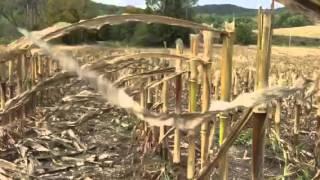 Cut corn stalks in the wind