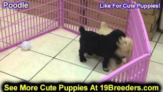 Standard Poodle, Puppies, For, Sale, In, Boise City, Idaho, Id, Rexburg, Post Falls, Lewiston, Twin