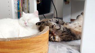 暇すぎて熟睡してる子を起こそうとする悪ガキ猫!