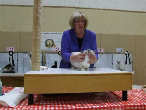 Zanadu Night Fever at Monroe Shorthair Cat Club show Aug 21, 2016