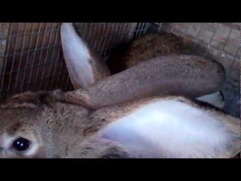 Nuôi thỏ (rabbit) khổng lồ ở vườn sau nhà