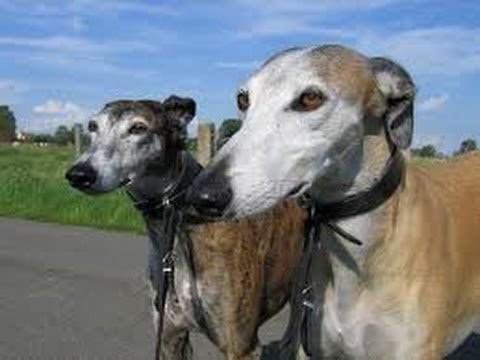 Spanish Greyhound (Galgo Español) - Dog Breed