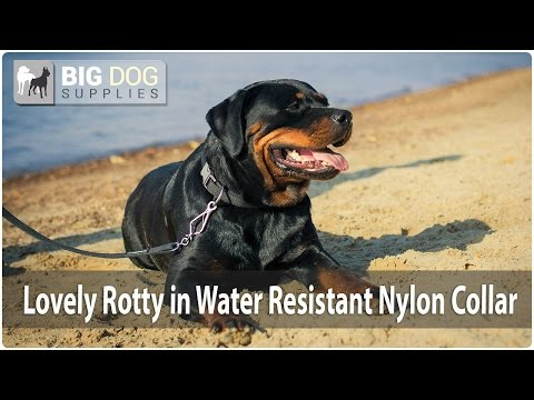 Lovely Rottweiler Showing Off Water Resistant Nylon Dog Collar
