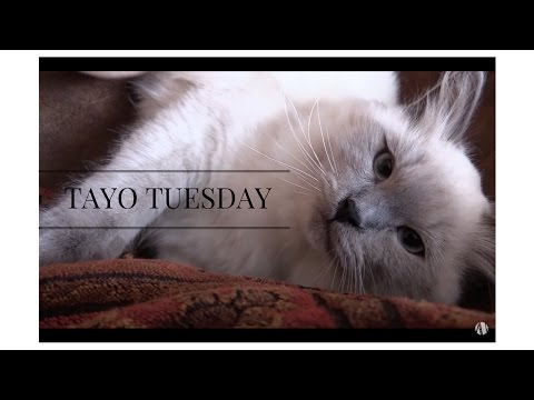 Tayo - The Blue Point Siberian Kitten: It's Tayo Tuesday