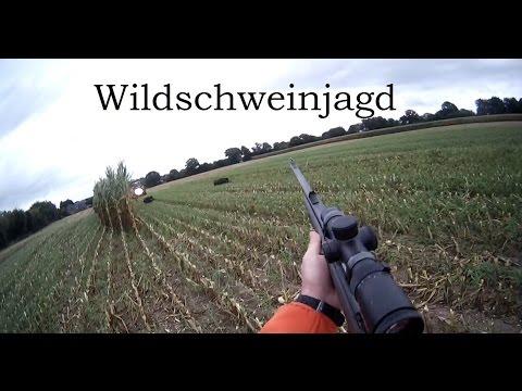 Wildschweinjagd während der Maisernte