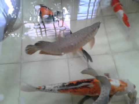 Arowana and koi in pond youtube for Red koi fish for sale