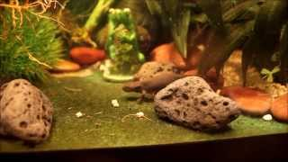 Breeding Chinese Fire Belly Newts/raising Young