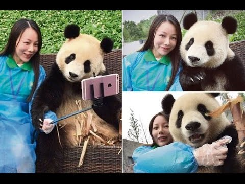 This Giant Panda Knows How To Pose For Selfies With Tourist
