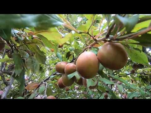 Cây Nhà Vườn ở Úc Quá Trời Trái Luôn Mọi Người ơi Ai Mua Mình Ship Về Việt Nam Luôn