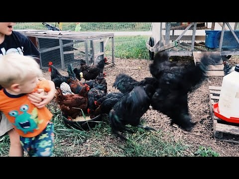 Will My Roosters Fight To The Death?