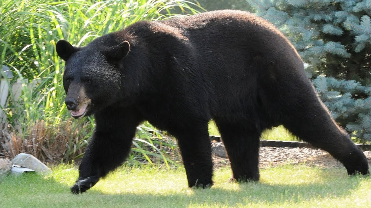 New Jersey's controversial black bear hunt is about to start up again