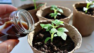 Мощная низкорослая рассада это просто! Уход и подкормка рассады помидор в марте апреле до высадки!