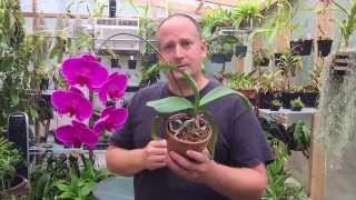 PHALAENOPSIS ORCHID CARE: HOME MADE EASY LEAF SHINE FOR PHALAENOPSIS ORCHIDS AND OTHER ORCHIDS