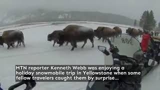 Christmas bison in Yellowstone National park (video)