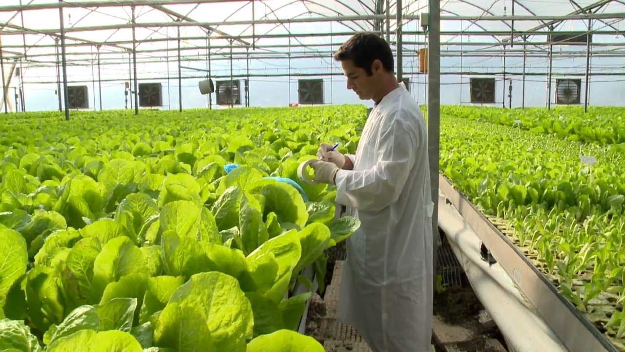 Hydroponic Lettuce Greenhouse Factory Fully Automated