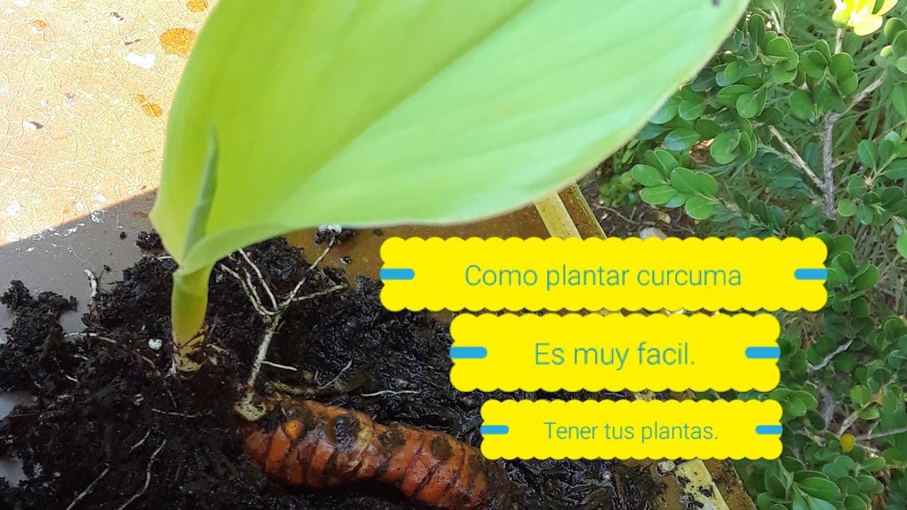 Como plantar planta de curcuma en casa cultiva curcuma en - Como cultivar azafran ...