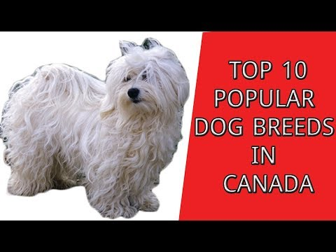 Top 10 most popular dog breeds In Canada