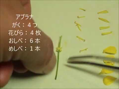 アブラナ の 花 の つくり