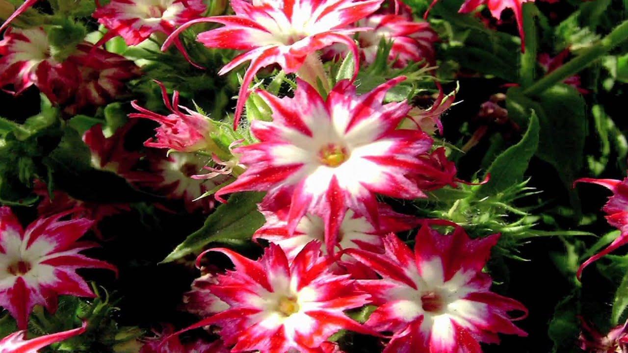 Gardening Tips How To Grow Annual Phlox Phlox