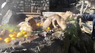 Izu Shaboten Zoo - Capybara Onsen (New Years 2018)