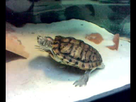 16 years old turtle - Trachemys Scripta Elegans