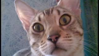 Ё Маё! Я Беременна! Прикол , бенгалка ,Pregnant Bengal cat