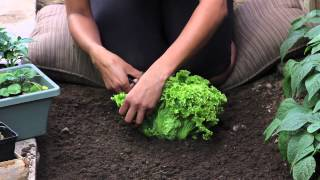 How to Cut Lettuce so It Keeps Growing : The Chef's Garden