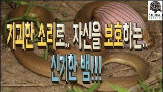 기괴한 소리로 자신을 보호하는 신기한 뱀 ASMR급 파…